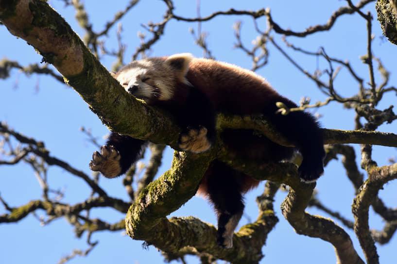 Тенби, Великобритания. Красная панда в заповеднике, открывшемся после снятия коронавирусных ограничений