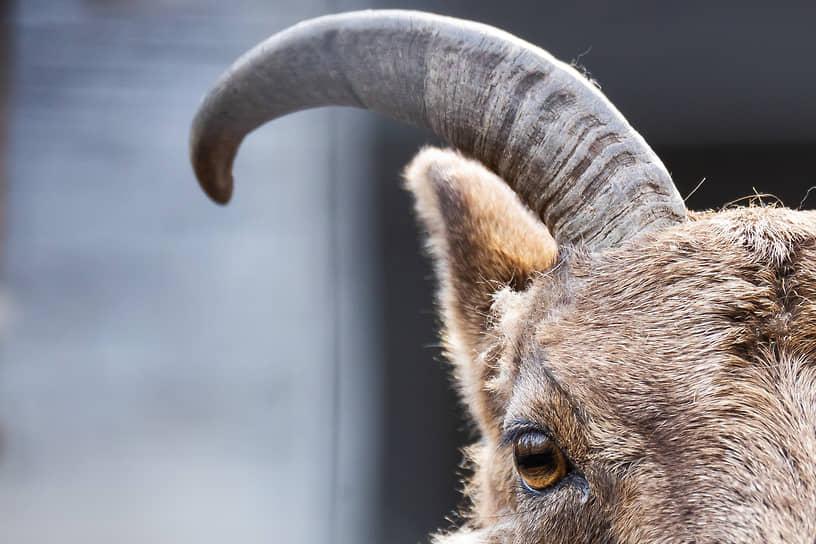 Калининград, Россия. Горный козел в зоопарке