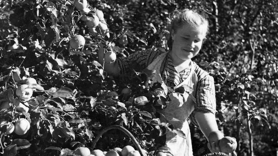 Работница Холмской опытной станции Сахалинского филиала АН СССР А. Мокшина собирает яблоки
