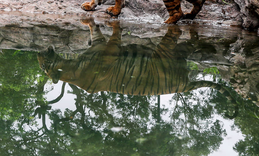 Мумбаи, Индия. Тигр в местном зоопарке