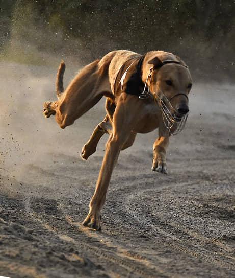 Республика Крым, Россия. Охотничья собака во время забега на церемонии открытия трека «Раздолье»