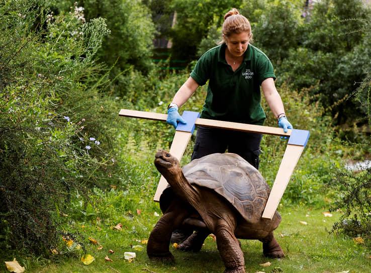 Лондон, Великобритания. Сотрудница зоопарка измеряет панцирь черепахи