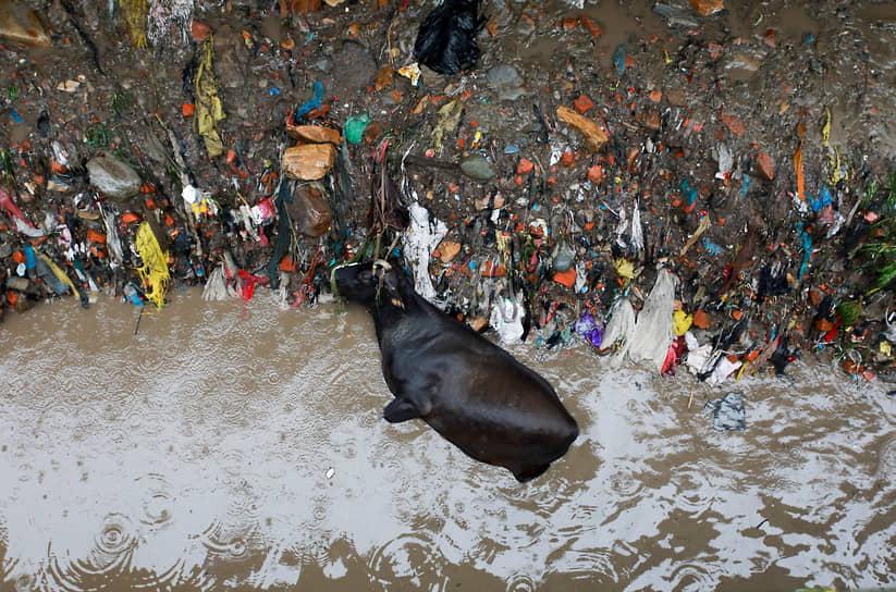 Катманду, Непал. Мертвая корова на берегу реки, затопленном после проливных дождей