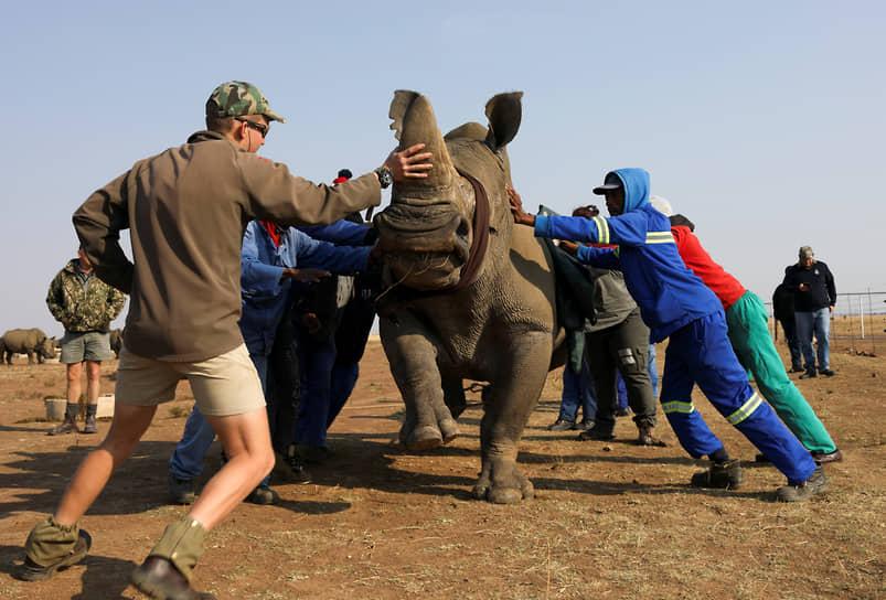 Клерксдорп, ЮАР. Работники заповедника пытаются успокоить носорога
