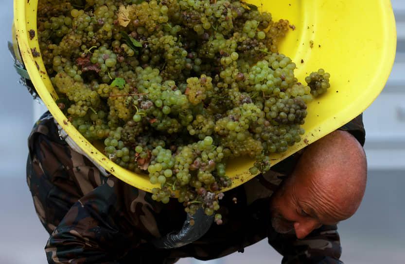 Шабли, Франция. Работник собирает урожай винограда