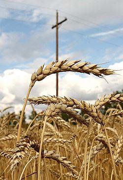 Интервентов помянули недобрым счетом // Счетная палата назвала истинную цену казенного зерна