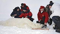 Премьер-министр России Владимир Путин спас медведя ценой своего приезда в Арктику. Фото: Фотослужбы председателя Правительства. Загружается с сайта Ъ