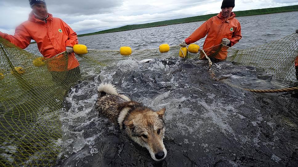 Как камчатские сенаторы не поделили рыбу