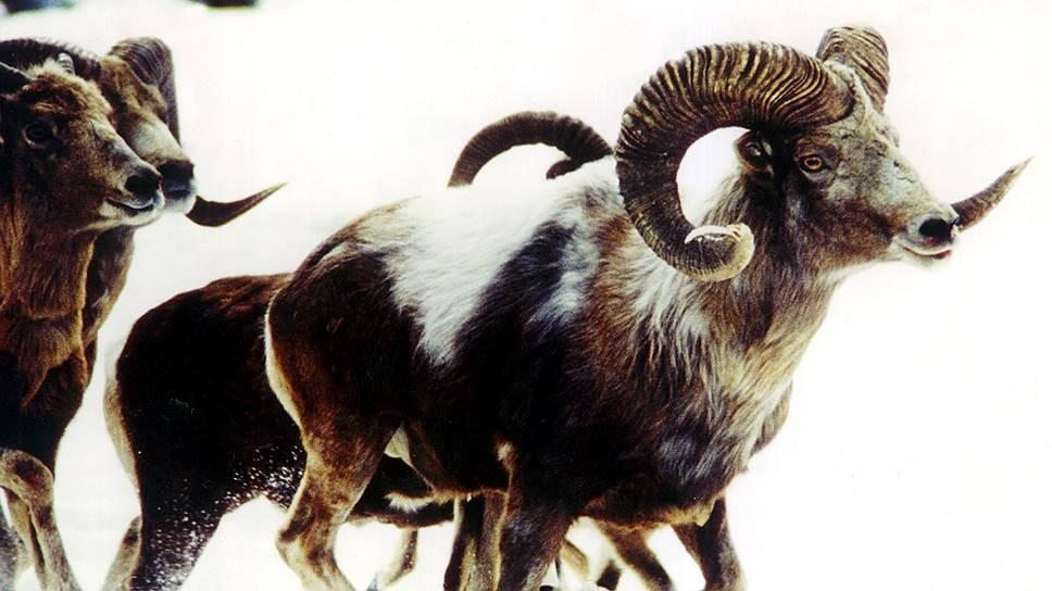 Алтайские горные бараны