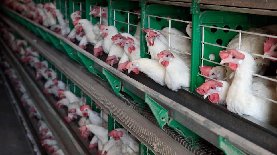 Долги за курицу взыщут сахаром / «Симбирск бройлер» привлекают к ответственности