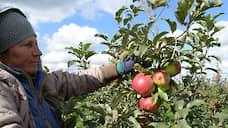 Яблоки удобряют страховкой