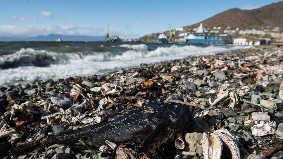 Коварная Karenia / В экологической катастрофе на Камчатке обвинили водоросли-динофлагелляты