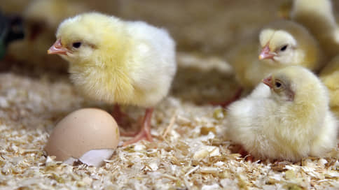 Курятине на смех // Российским птицеводам не хватает инкубационных яиц