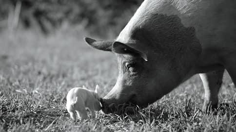 Хлев насущный  / «Гунда» Виктора Косаковского призывает отнестись к свинье по-человечески