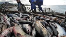 Квоты пустили на фарш  / Рыбопромышленники предложили увеличить объемы переработки