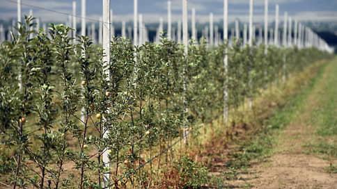 Под яблони закладывают субсидии  / Садоводы просят отдельной поддержки для питомников