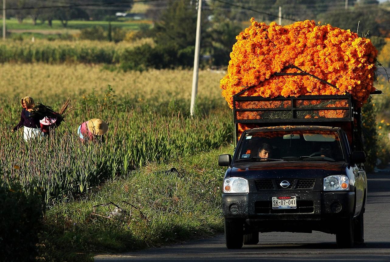 Грузовик, загруженный цветами бархатцами (мексиканская календула), проезжает мимо полей  возле Чолулы, в штате Пуэбла, Мексика.  Цветок используется в Мексике для празднования Деня мертвых. Из лепестков делают дорожки, направляющие души к алтарям