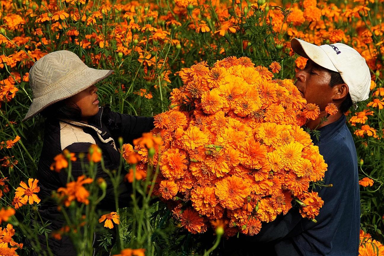 Крестьяне собирают цветы Бархатцы на полях возле Чолулы в штате Пуэбла