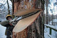 Погибшие деревья арбористы без сожаления спиливают, чтобы на их месте посадить новые