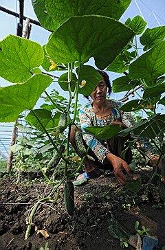 Китайские растениеводы охотно сдают оптовикам огурцы по цене, которая российских фермеров не устраивает