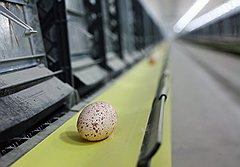 В споре о том, что было раньше — курица или яйцо, в Ростове победила индейка