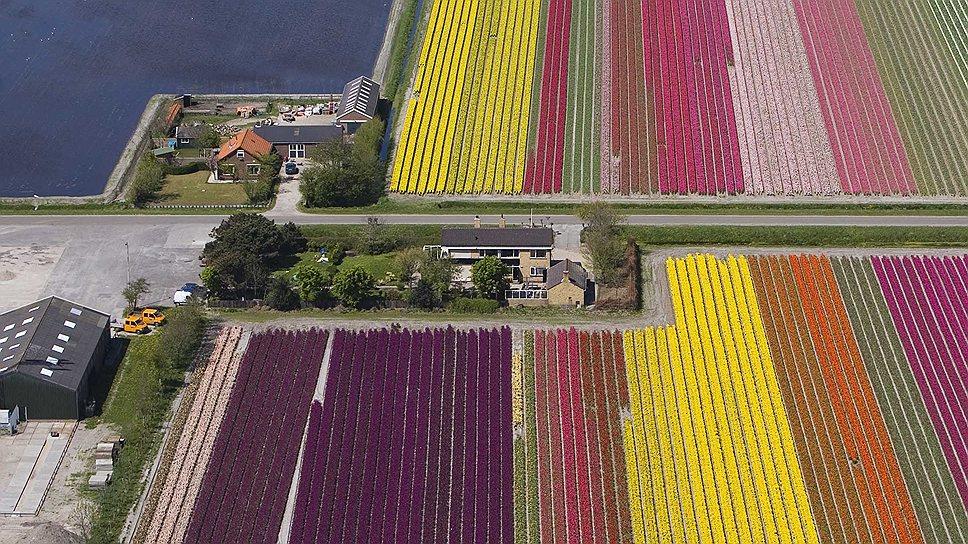 Тюльпаны не только символ Голландии, но и один из основных экспортных товаров