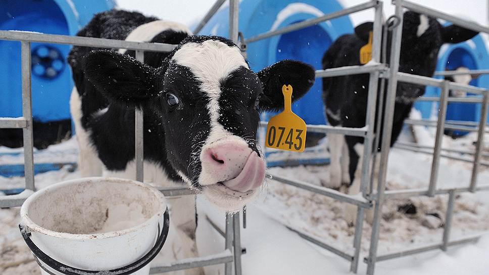 Кормить коров в России стало так дорого, что их уже невыгодно доить