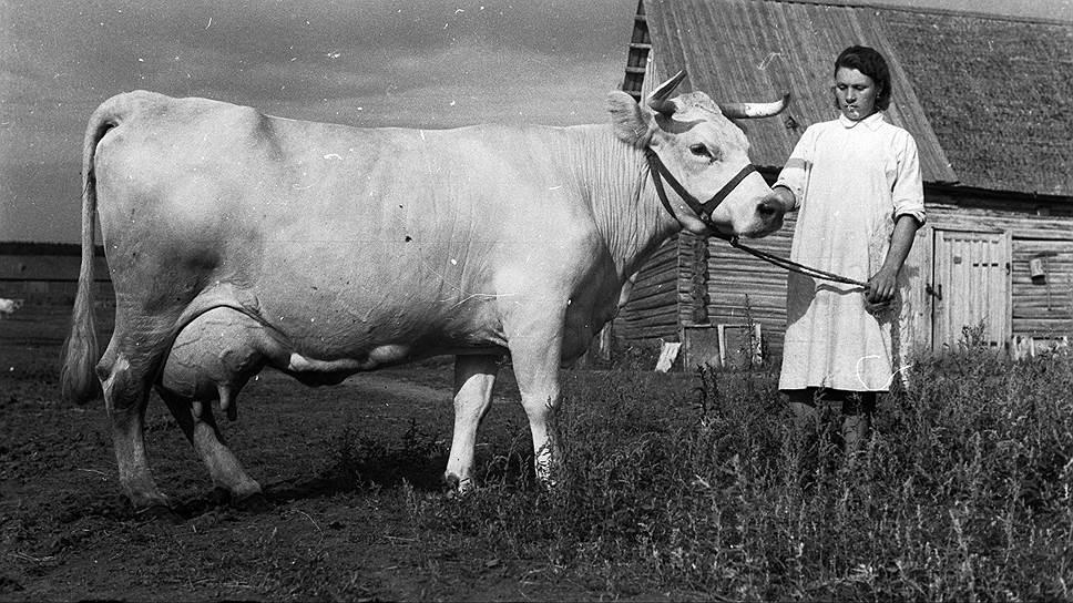 Костромская порода коров славилась на всю Россию