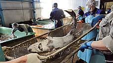 Черная икра, произведенная в рыбных хозяйствах, в несколько раз дороже той, которую когда-то добывали, вылавливая осетра
