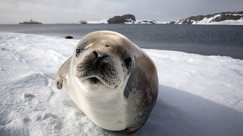 Приближаться к обитателям Антарктики ближе пяти метров туристам запрещено международными правилами