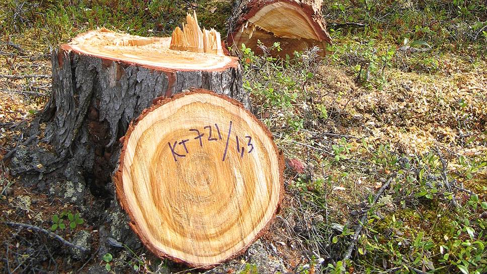 Древесные керны обрабатываются, оцифровываются и превращаются во временные ряды, которые называются древесно-кольцевыми хронологиями