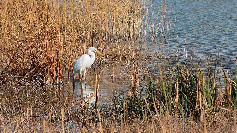 Большая белая цапля Ardea alba -- обычный пролетный и немногочисленный зимующий вид природного парка. Из-за появления искусственных водоемов численность цапель на Имеретинской низменности постепенно увеличивается, заросшие тростником берега отлично подходят для охоты и отдыха