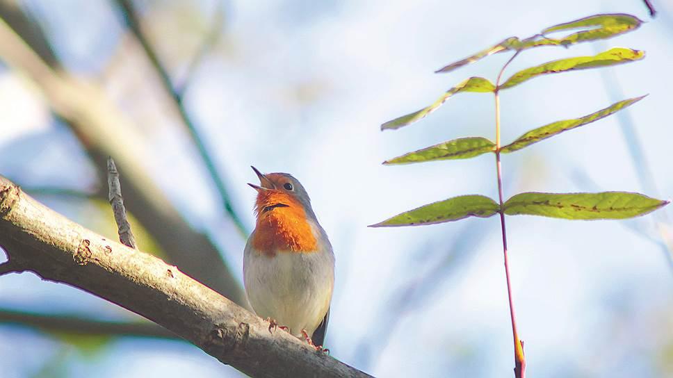 Зарянка Erithacus rubecula — мелкая певчая птица из семейства мухоловковых, ее звенящая песня является одной из самых красивых птичьих песен