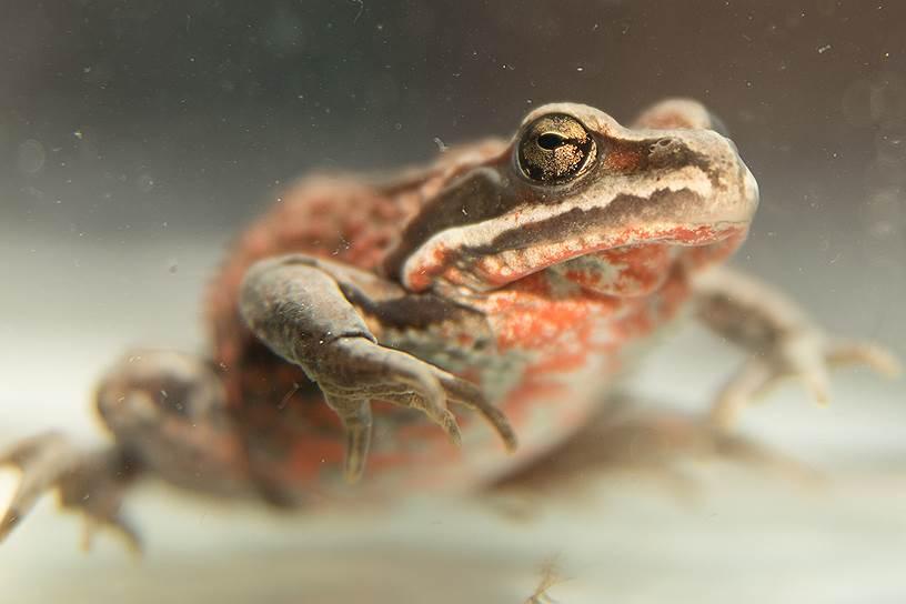 Сибирскую лягушку сложно перепутать с каким-либо другим видом — ее выдает ярко-красная пятнистость или мелкий красно-бело-черный крап на нижней стороне тела и нередко на спине