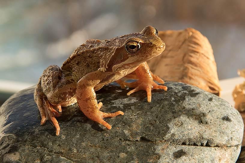Травяная лягушка распространена в Европе от Пиренеев до Арктики. В обогреваемых Атлантикой регионах она зимует как в водоемах, так и на суше в сырых местах. Но в северо-восточной части ареала (на Северном и Среднем Урале) — исключительно в горных непромерзающих реках