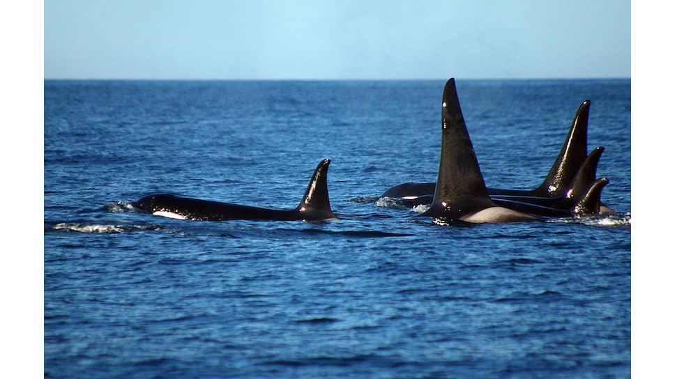 Семья косаток близ Командорских островов. С высокими плавниками — самцы, с более низкими — самки или молодые особи. Фото автора