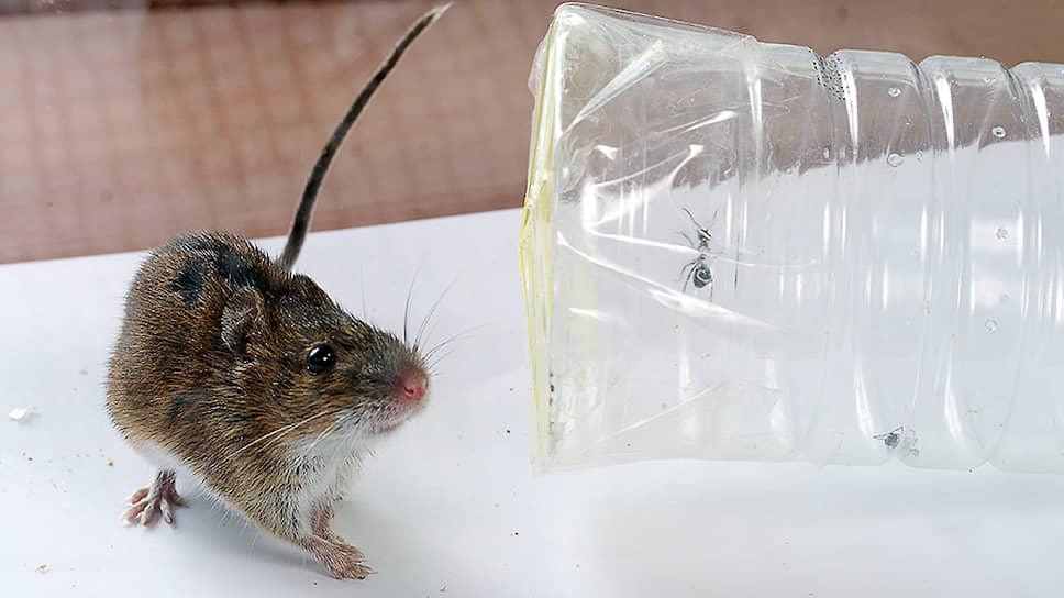 Мыши продемонстрировали способность выбирать оптимальную стратегию, умело сопоставляя соотношение риска и выгоды