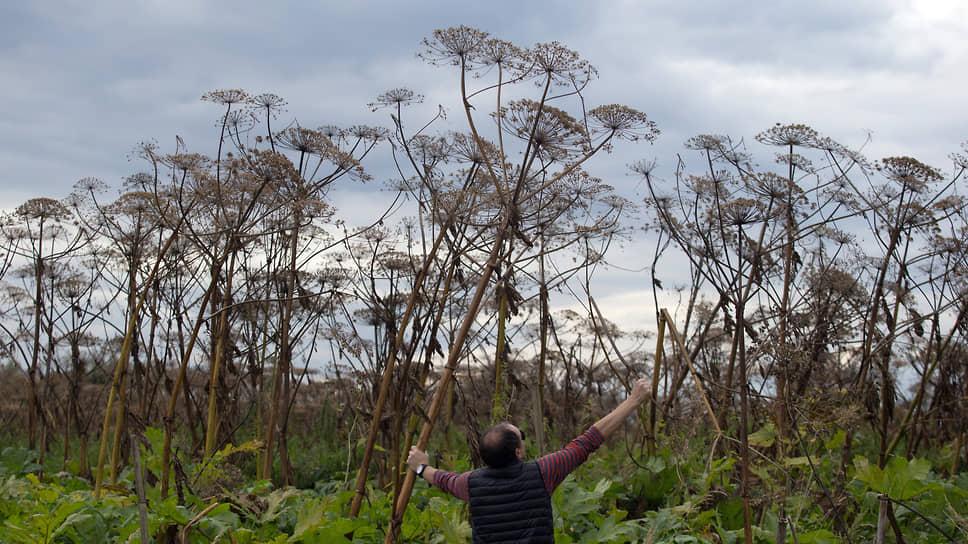 Высокое мощное растение с широким зонтиком стало бедствием для полей, а может приносить огромную пользу
