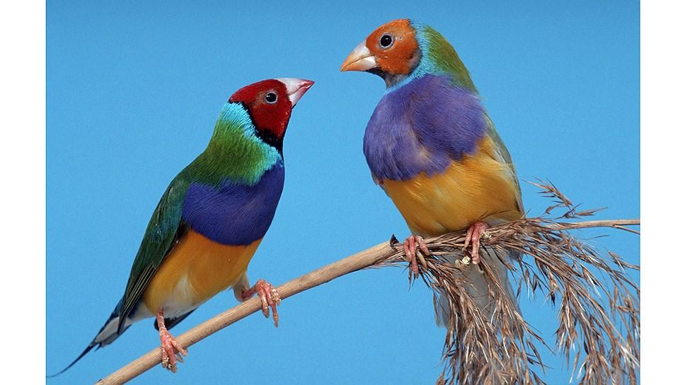 Какой эволюционный процесс влияет на птичий окрас