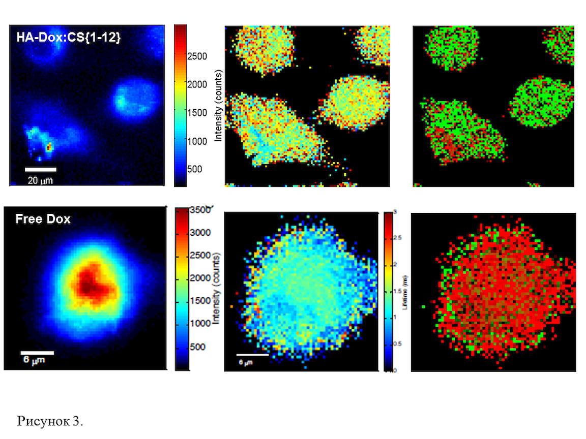 . FLIM-изображения живых раковых клеток, инкубированных с наночастицами (НА-DOX:CS, верхняя панель) и со свободным DOX (нижняя панель) в течение 24 часов