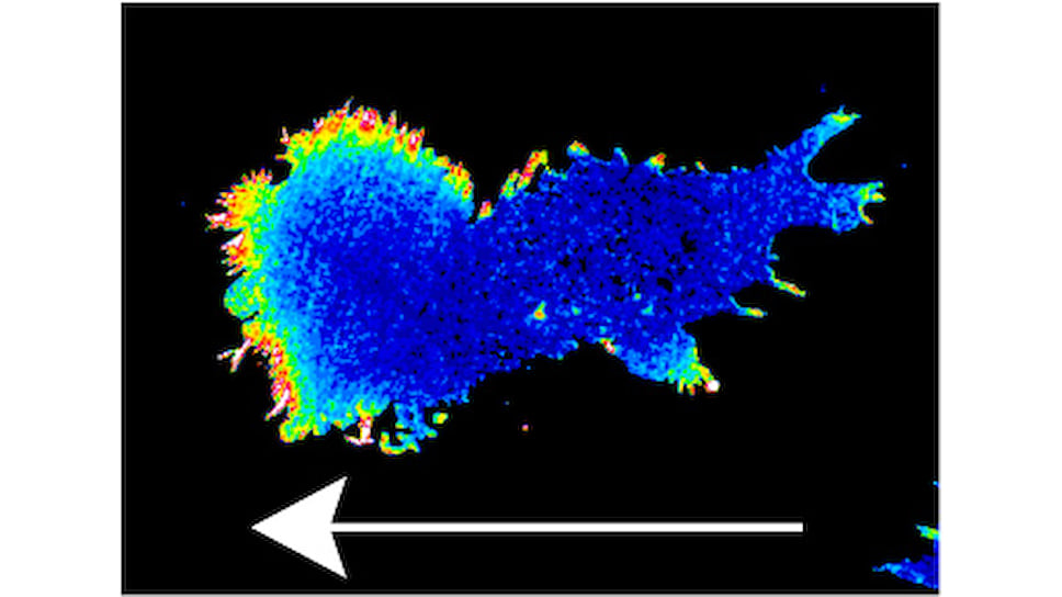 Градиент пероксида водорода в клетке задает направление ее движения. Стрелка показывает направление движения