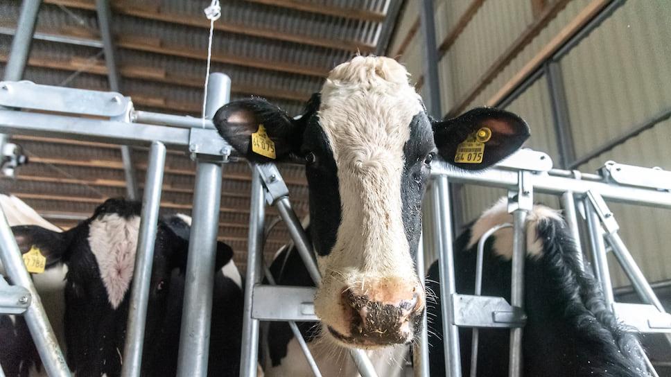 Цифровая трансформация коровы