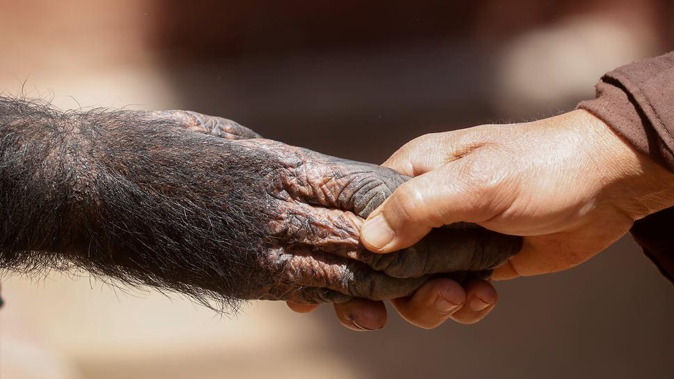 Шимпанзе разумный