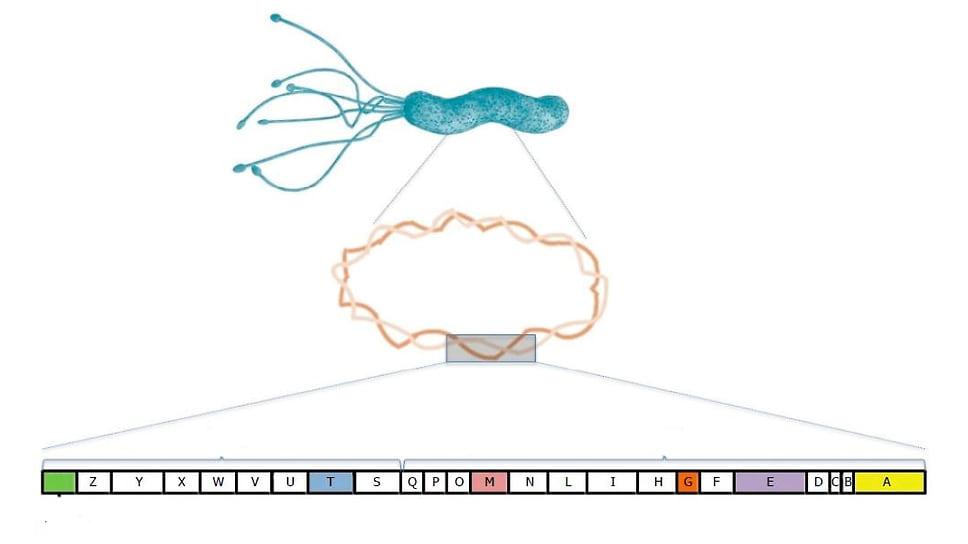 Организация генов на острове патогенности Cag-PAI