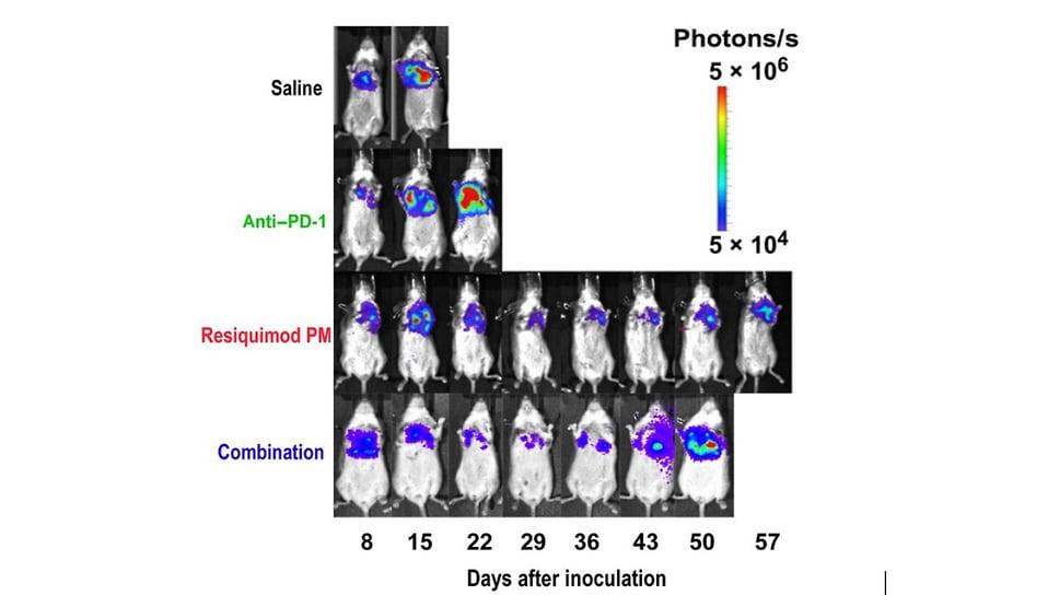 In vivo визуализация биолюминесценции опухоли в организме лабораторных мышей после внутривенного введения различных агентов, в том числе резиквимода