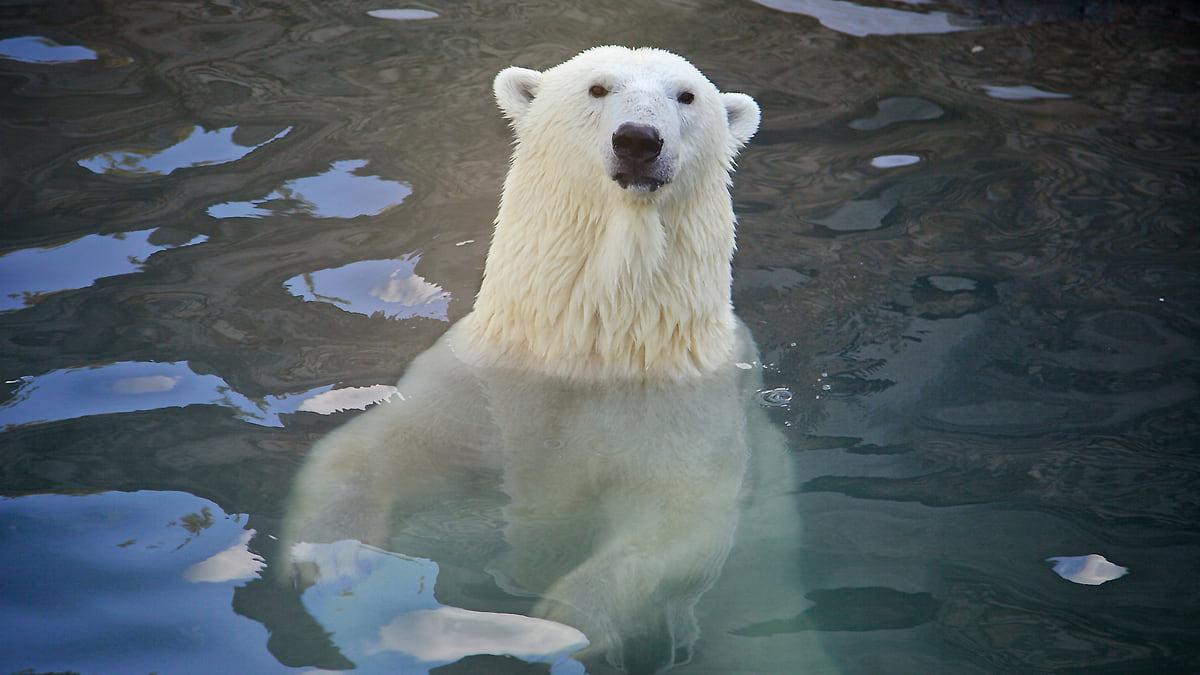 Как белый медведь съел северного оленя