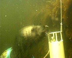 А вот их сородич может за секунды найти мину на дне судна. Удивительно, но весь курс обучения — не больше года