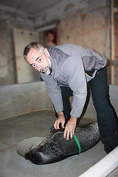 Физиолог Виктор Войнов измеряет грудную клетку у тюленя Ники