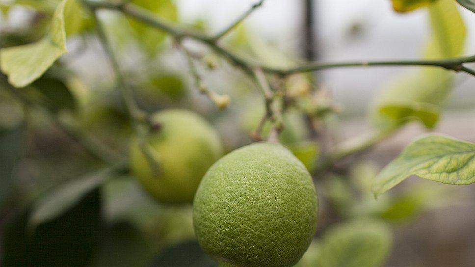 Плод лимона созревает девять месяцев