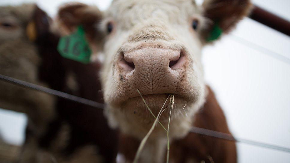 """""""У бычка должны быть корм, вода и свобода"""""""